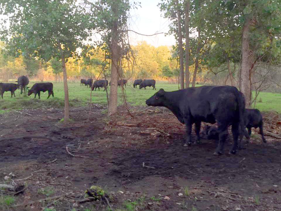 Cattle For Sale Near Royal Oak MI - Judd Organic Angus Farms - pasture